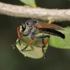 Neoscleropogon sp. (genus) at ANBG - 22 Nov 2019