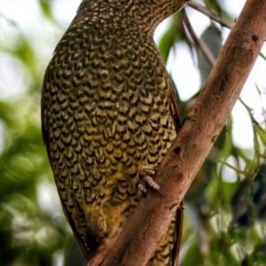 Ptilonorhynchus violaceus at Murramarang National Park - 19 Nov 2019