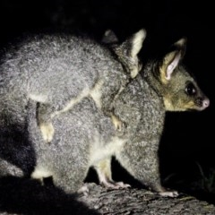 Trichosurus vulpecula (Common Brushtail Possum) at Murramarang National Park - 19 Nov 2019 by Stewart