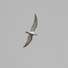 Chlidonias hybrida (Whiskered Tern) at Jerrabomberra Wetlands - 22 Nov 2019 by RodDeb