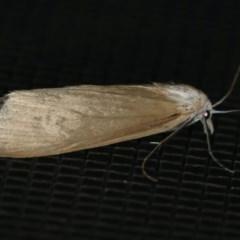 Scirpophaga imparellus (A Crambid moth) at Rosedale, NSW - 15 Nov 2019 by jbromilow50