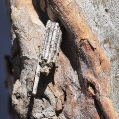 Clania ignobilis (Faggot Case Moth) at Bruce, ACT - 25 Aug 2019 by AlisonMilton