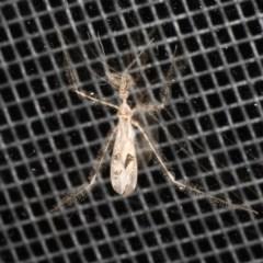 Stenolemus sp. (Genus) (Thread-legged assassin bug.) at Rosedale, NSW - 16 Nov 2019 by jbromilow50