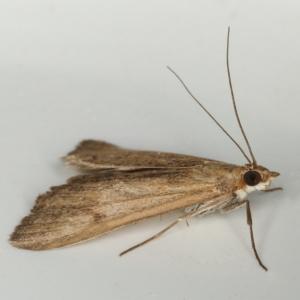 Uresiphita ornithopteralis at Kambah, ACT - 23 Nov 2019
