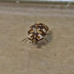Anthrenus verbasci (Varied or Variegated Carpet Beetle) at Macarthur, ACT - 23 Nov 2019 by RodDeb
