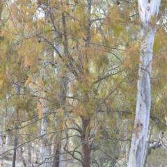 Exocarpos cupressiformis (Cherry Ballart) at Wamboin, NSW - 29 Sep 2019 by natureguy