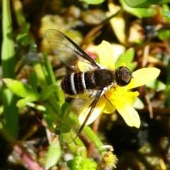 Villa sp. (genus) (Unidentified Villa bee fly) at Tennent, ACT - 17 Nov 2019 by HarveyPerkins