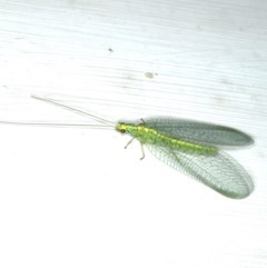 Pseudomallada edwardsi (A Green Lacewing) at Ainsli