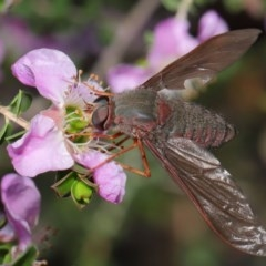 Comptosia insignis (A bee fly) at ANBG - 18 Nov 2019 by TimL