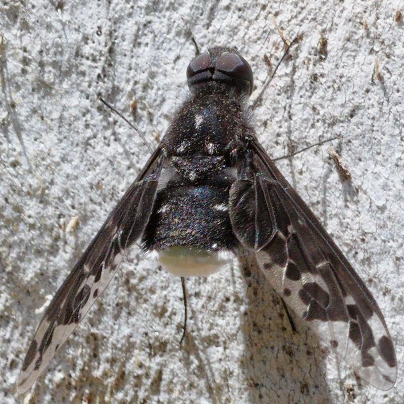 Anthrax sp. (genus) at Kambah, ACT - 24 Nov 2019