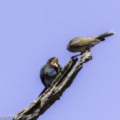 Eurystomus orientalis (Dollarbird) at Garran, ACT - 15 Nov 2019 by BIrdsinCanberra