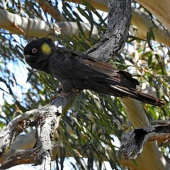 Calyptorhynchus funereus (Yellow-tailed Black-cockatoo) at Bemboka, NSW - 24 Nov 2019 by MaxCampbell