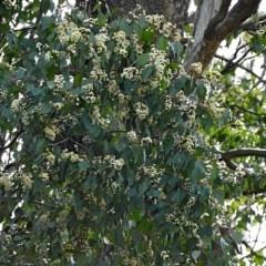 Eucalyptus baueriana (Blue Box) at Brogo, NSW - 22 Nov 2019 by MaxCampbell