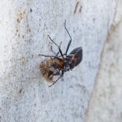 Dindymus circumcinctus at Kambah, ACT - 24 Nov 2019