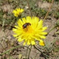 Dicranolaius villosus (Melyrid flower beetle) at Yarramundi Grassland  - 24 Nov 2019 by AndyRussell