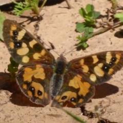 Argynnina cyrila (Forest brown, Cyril's brown) at Namadgi National Park - 14 Nov 2019 by Christine
