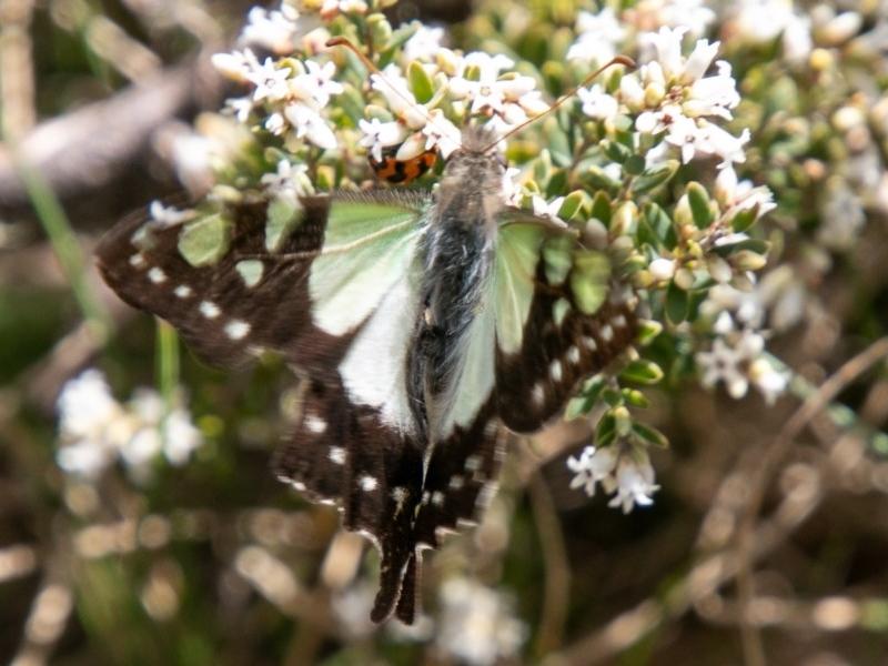 Graphium macleayanum at Namadgi National Park - 23 Nov 2019
