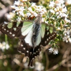 Graphium macleayanum (Macleay's Swallowtail) at Namadgi National Park - 22 Nov 2019 by SWishart