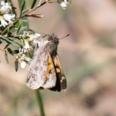 Trapezites phigalioides (Montane Ochre) at Namadgi National Park - 23 Nov 2019 by SWishart