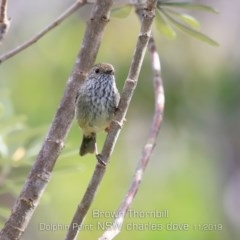 Acanthiza pusilla (Brown Thornbill) at Wairo Beach and Dolphin Point - 6 Nov 2019 by Charles Dove