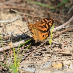 Heteronympha merope (Common Brown) at Wairo Beach and Dolphin Point - 6 Nov 2019 by Charles Dove
