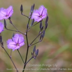 Thysanotus tuberosus subsp. tuberosus (Common Fringe Lily) at South Pacific Heathland Reserve - 5 Nov 2019 by Charles Dove