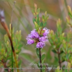 Melaleuca thymifolia (Thyme honey-myrtle) at South Pacific Heathland Reserve - 5 Nov 2019 by Charles Dove