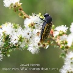 Stigmodera macularia (Macularia jewel beetle) at Wairo Beach and Dolphin Point - 6 Nov 2019 by Charles Dove