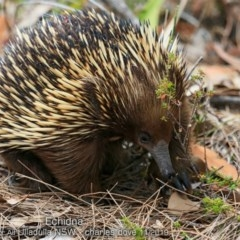 Tachyglossus aculeatus (Short-beaked Echidna) at One Track For All - 11 Nov 2019 by Charles Dove