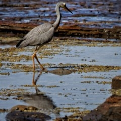 Egretta novaehollandiae (White-faced Heron) at Murramarang National Park - 19 Nov 2019 by Stewart