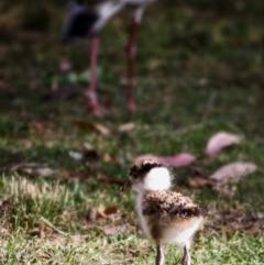 Vanellus miles (Masked Lapwing) at Murramarang National Park - 19 Nov 2019 by Stewart