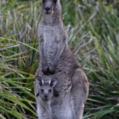 Macropus giganteus (Eastern Grey Kangaroo) at Murramarang National Park - 19 Nov 2019 by Stewart