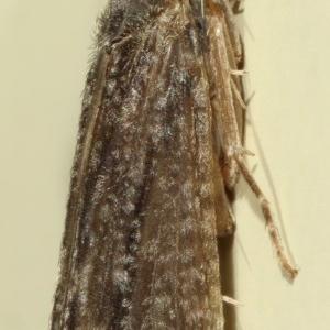 Triplectides sp. (genus) at Kambah, ACT - 28 Nov 2019