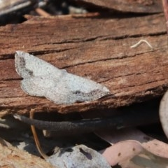 Taxeotis intextata (Looper Moth, Grey Taxeotis) at Cook, ACT - 24 Nov 2019 by Tammy