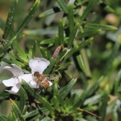 Villa sp. (genus) (Unidentified Villa bee fly) at Cook, ACT - 24 Nov 2019 by Tammy