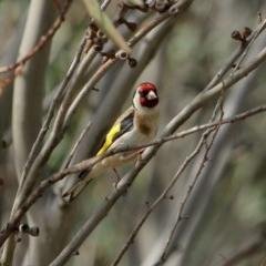 Carduelis carduelis (European Goldfinch) at Burradoo - 24 Nov 2019 by Snowflake