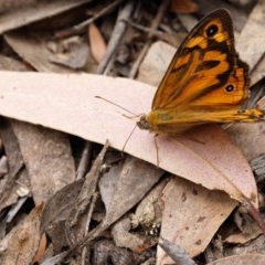 Heteronympha merope (Common Brown) at Wingecarribee Local Government Area - 24 Nov 2019 by Boobook38