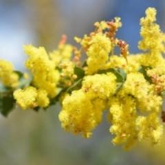 Acacia pravissima (Wedge-leaved Wattle) at Wamboin, NSW - 29 Sep 2019 by natureguy