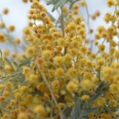 Acacia dealbata (Silver Wattle) at Wamboin, NSW - 29 Sep 2019 by natureguy