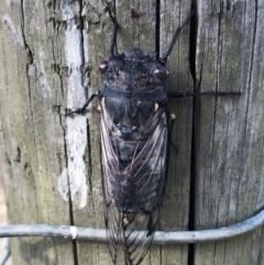 Psaltoda moerens (Redeye Cicada) at Hughes Garran Woodland - 24 Nov 2019 by ruthkerruish