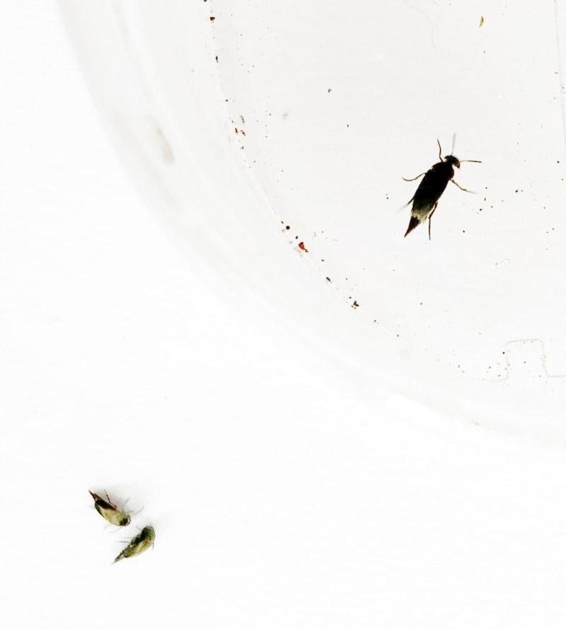 Mordellidae sp. (family) at Hughes Garran Woodland - 24 Nov 2019
