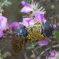 Stigmodera macularia (Macularia jewel beetle) at Morton National Park - 23 Nov 2019 by Harrisi