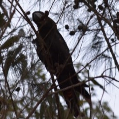 Calyptorhynchus lathami (Glossy Black-cockatoo) at Bodalla State Forest - 23 Nov 2019 by TreeHopper