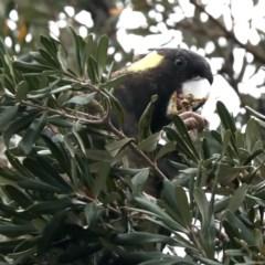 Calyptorhynchus funereus (Yellow-tailed Black-cockatoo) at Guerilla Bay, NSW - 16 Nov 2019 by jbromilow50