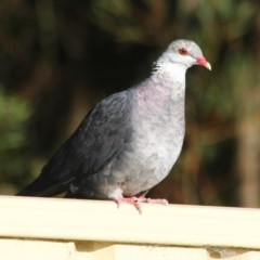Columba leucomela (White-headed Pigeon) at Ulladulla, NSW - 10 Nov 2019 by CBrandis