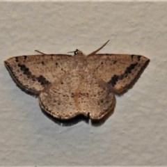 Taxeotis intextata (Looper Moth, Grey Taxeotis) at Wanniassa, ACT - 25 Nov 2019 by JohnBundock