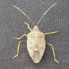 Poecilometis strigatus (Gum Tree Shield Bug) at Wingecarribee Local Government Area - 26 Nov 2019 by Thelma