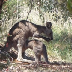 Macropus giganteus (Eastern Grey Kangaroo) at Jerrabomberra Wetlands - 31 Oct 2019 by Christine