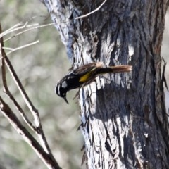 Phylidonyris novaehollandiae (New Holland Honeyeater) at Bournda Environment Education Centre - 31 Aug 2019 by RossMannell
