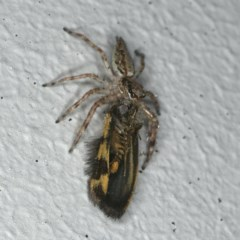 Helpis minitabunda (Jumping spider) at Ainslie, ACT - 20 Nov 2019 by jbromilow50